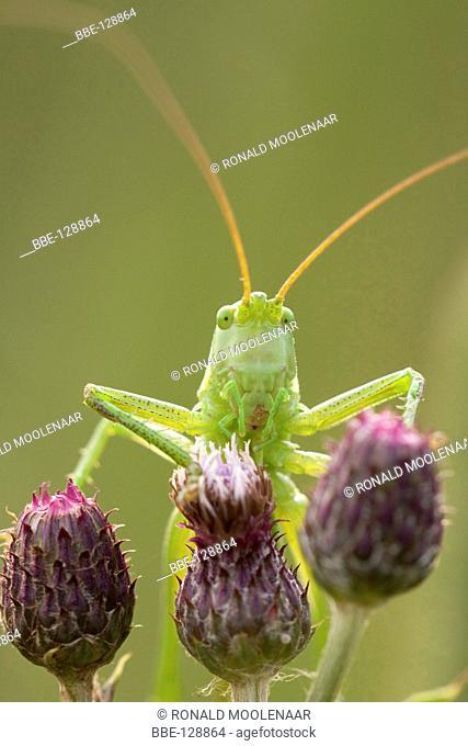 Great Green grashopper