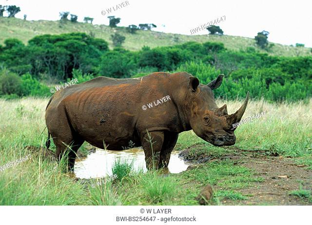 white rhinoceros, square-lipped rhinoceros, grass rhinoceros Ceratotherium simum, standing on the waterfront of a waterhole, Kenya