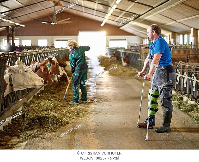 Farmer on crutches watching woman feeding cows in stable on a farm