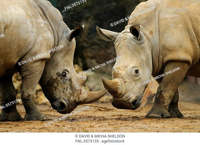 Two Indian Rhinoceri Rhinoceros unicornis standing face to face