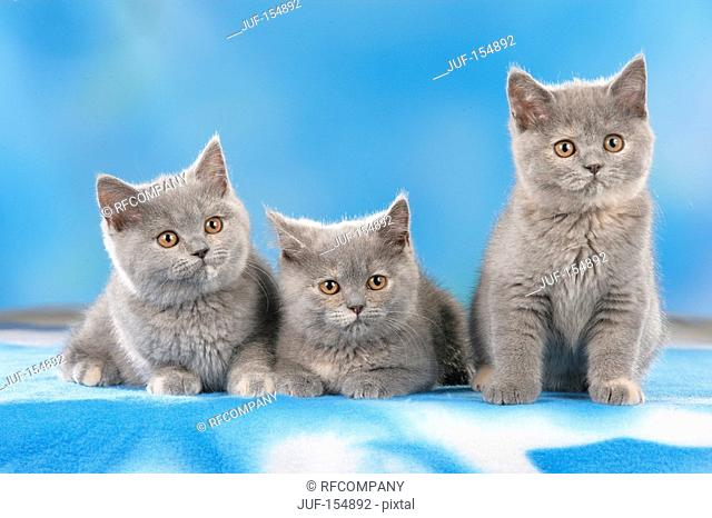British shorthair cat - three kittens - cut out