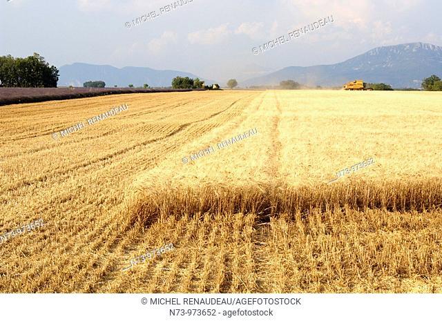 France, Alpes-de-hautes-provence, champs de blé sur le plateau de valensole