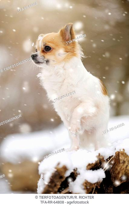 sitting longhaired Chihuahua