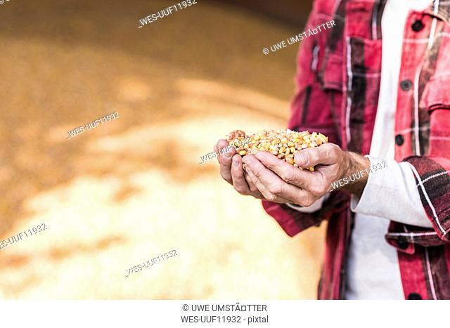 Grains of maize in hands