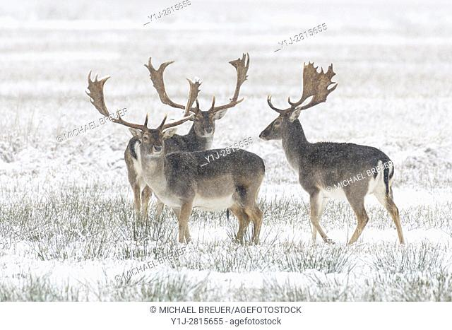 Fallow Deers in Winter, Cervus dama, Hesse, Germany, Europe