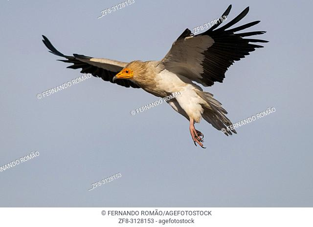 Egyptian Vulture at Faia Brava Reserve, Portugal