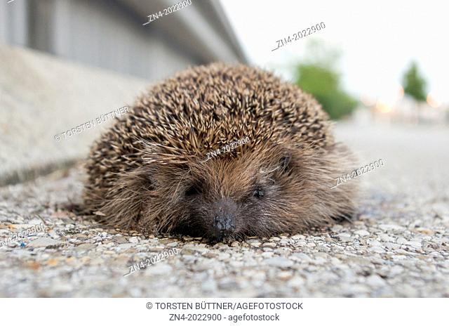 Dead Hedgehog at the Side of a Street. Bad Schallerbach. Austria