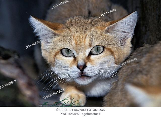 SAND CAT felis margarita, PORTRAIT OF ADULT