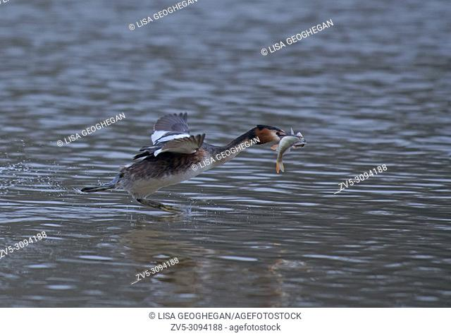 Great Crested Grebe-Podiceps cristatus in flight with caught fish. Uk