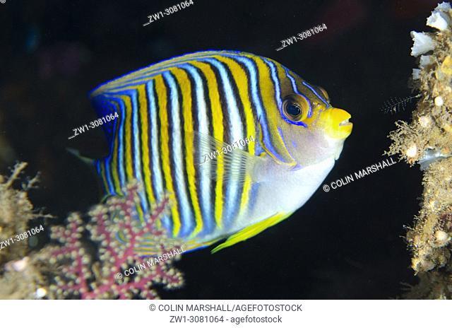 Regal Angelfish (Pygoplites diacanthus, Pomacanthidae family), USA (US Army Transport) Liberty wreck dive site, Tulamben, east Bali, Indonesia