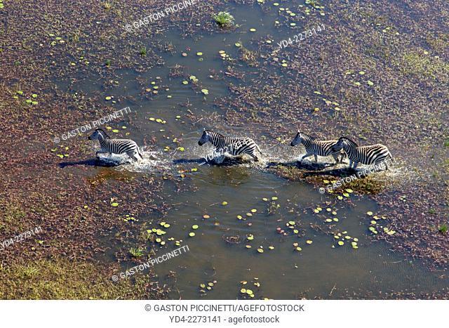Aerial view of plains zebras, (Equus quagga), in the floodplain, Okavango Delta, Botswana. The Okavango Delta is home to a rich array of wildlife