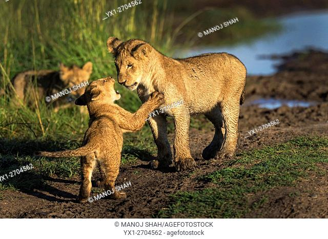 Lion cubs at play, Masai Mara National Reserve, Kenya