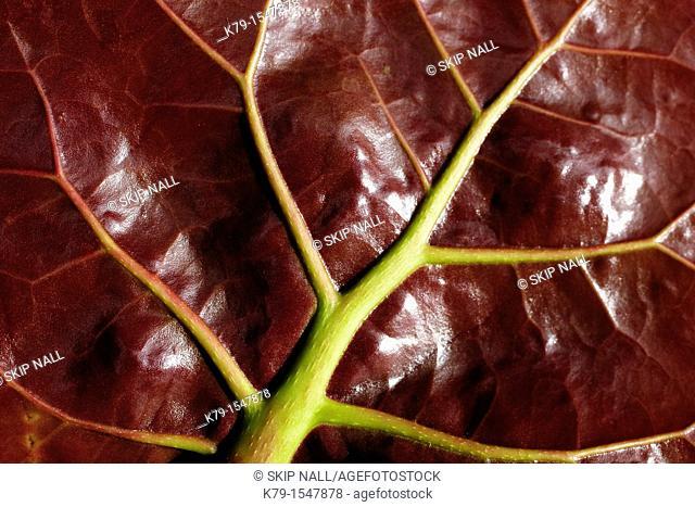 Close up of sea grape leaf