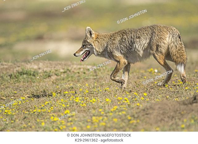 Coyote (Canis latrans) hunting in prairie dog colony, Theodore Roosevelt NP (South Unit), North Dakota, USA