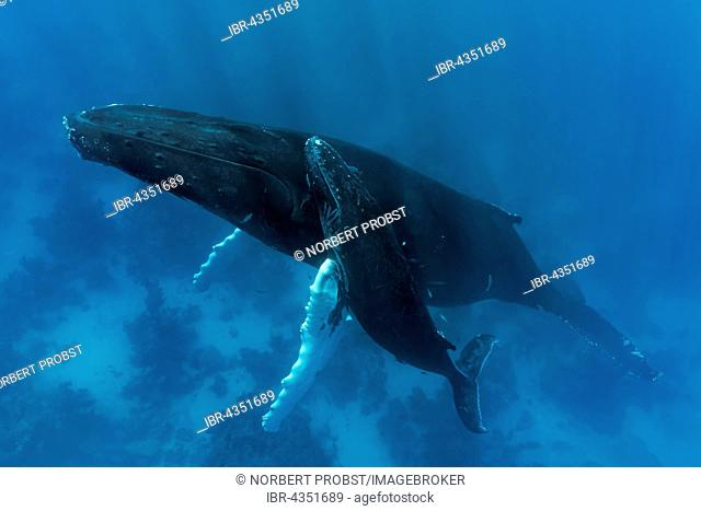 Humpback whale (Megaptera novaeangliae), female, cow, with young, calf, over coral reef, Silver Bank, Silver and Navidad Bank Sanctuary, Atlantic Ocean