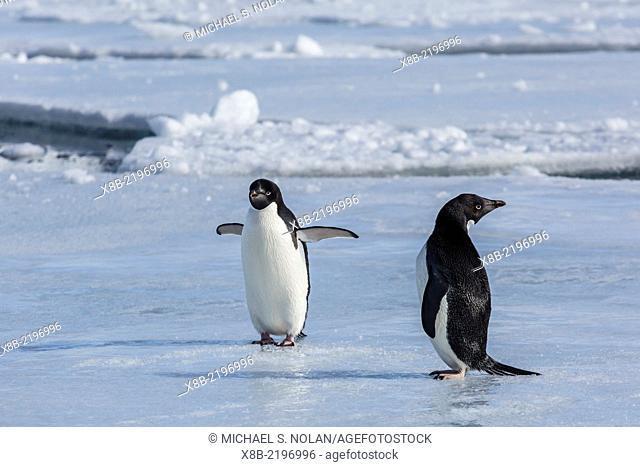 Adult Adélie penguins, Pygoscelis adeliae, on ice floe at Devil Island, Weddell Sea, Antarctica