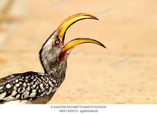 Yellowbilled hornbill Tockus flavirostris, Mabuasehube, Kgalagadi Transfrontier Park, Kalahari desert, Botswana