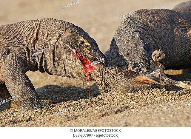Komodo dragon (Varanus komodoensis) devouring a goat. Komodo island, Indonesia