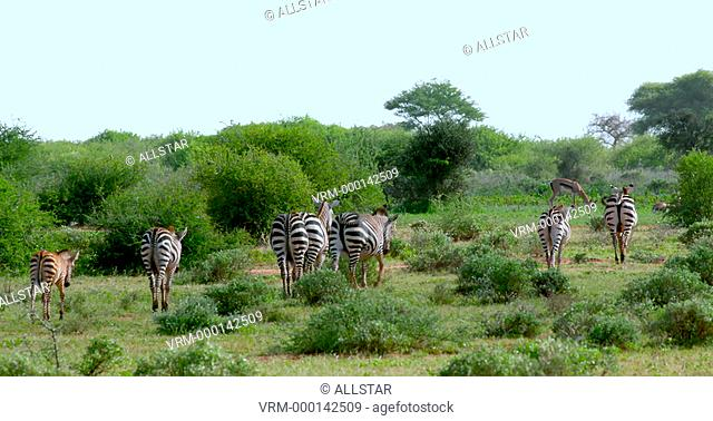 BURCHELL'S ZEBRA WALKING AWAY; AMBOSELI, KENYA, AFRICA; 02/02/2016