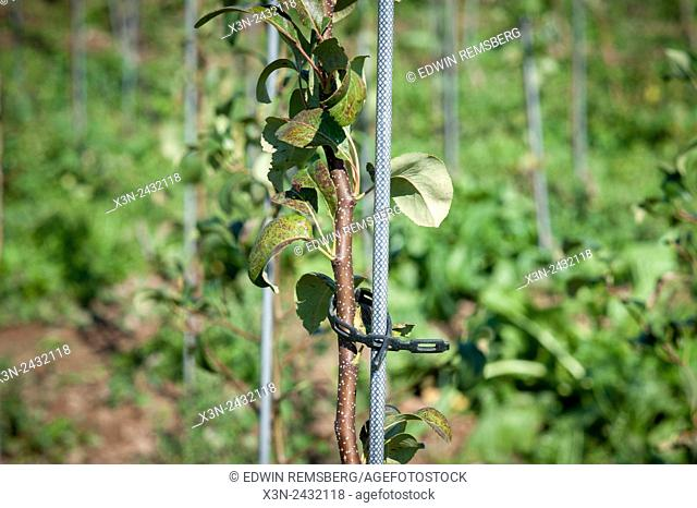 Young apple tree tied to rod for support at an apple orchard in Aspers, Pennsylvania, USA