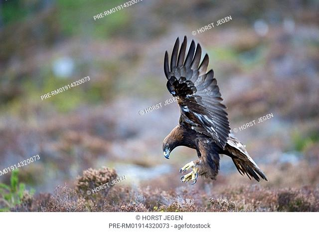 Golden eagle in flight, Aquila chrysaetos, Northern Europe