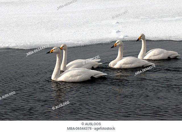 Whooper swan in winter (Cygnus cygnus), Japan