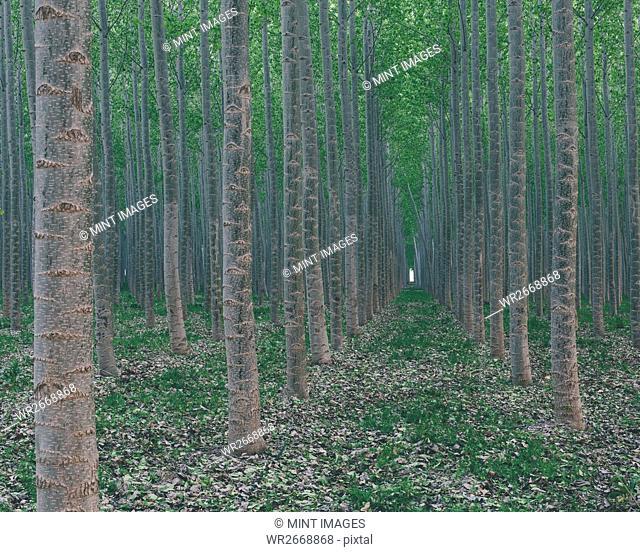 A plantation of poplar trees, commercial tree farm. Tall straight trunks and vivid green tree canopy