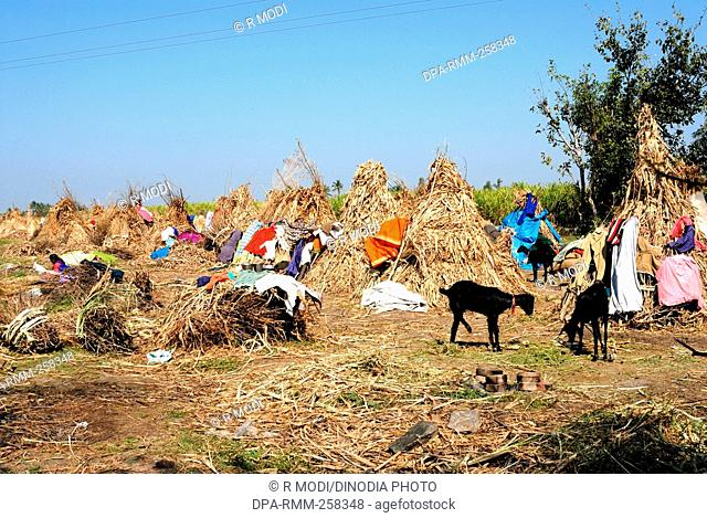 drying clothes in farm, sangli, maharashtra, India, Asia