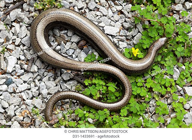 Slow-worm, Anguis fragilis, pregnant female with partially re-grown tail  Wales