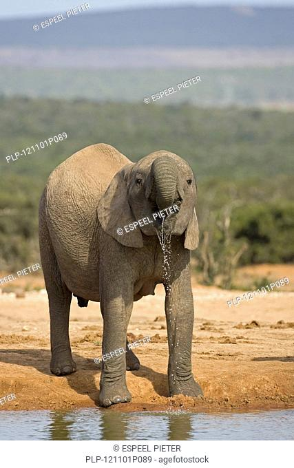African Elephant Loxodonta africana juvenile drinking water with trunk at waterhole, Addo Elephant National Park, South Africa