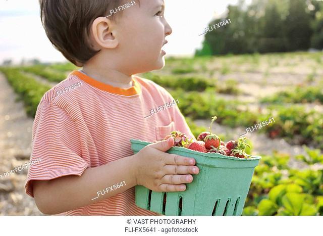 Young Boy Holding Box of Strawberries, Uxbridge, Ontario
