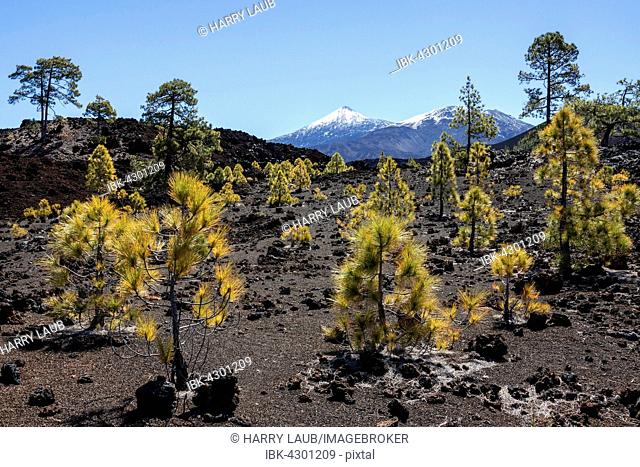 Canary pines (Pinus canariensis) in volcanic landscape, behind the snow-capped Pico del Teide and Pico Viejo, Teide National Park, UNESCO World Heritage Site