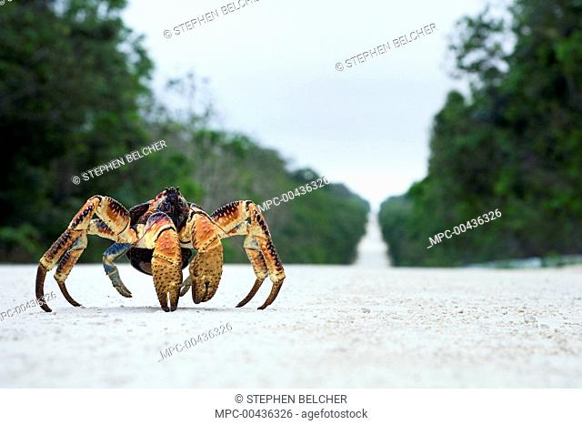 Coconut Crab (Birgus latro) crossing the road, Christmas Island, Australia