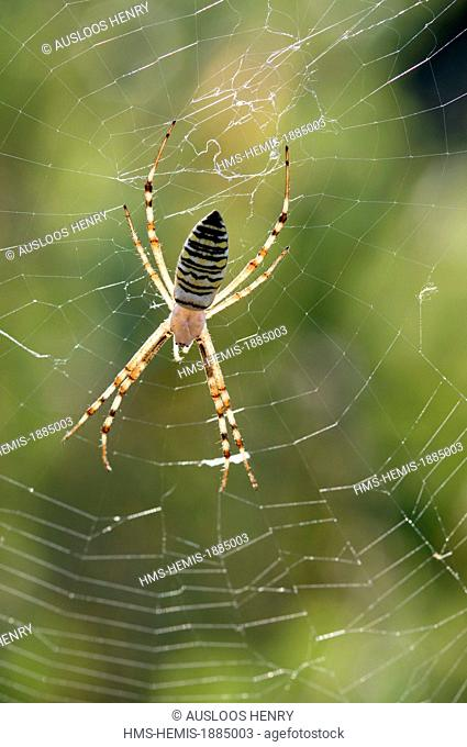 Banded Argiope Epeire or hornet (Argiope bruennichi)