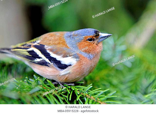Chaffinch - male, Fringilla coeleps, in the brood dress sits on a spruce fork in the garden