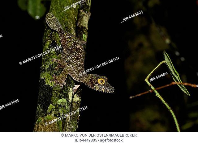 Mossy Leaf-Tailed Gecko (Uroplatus sikorae) on tree trunk, female, Ranomafana National Park, Madagascar