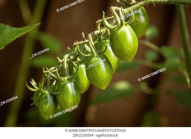 Unripe cherry tomatoes on the vine-Solanum Lycopersicum var. cerasiforme