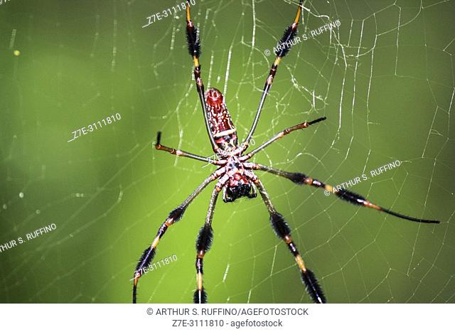 Golden silk orb-weaver spider (Nephila clavipes). Macro. Florida, U. S. A. , North America