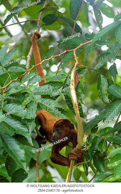 A Howler monkey (genus Alouatta monotypic in subfamily Alouattinae) hanging from tree with prehensile tail at the Maranon River in the Peruvian Amazon River...