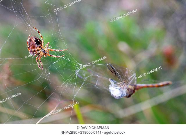 Garden Spider, Araneus diadematus, with a Common Darter caught in its web, UK