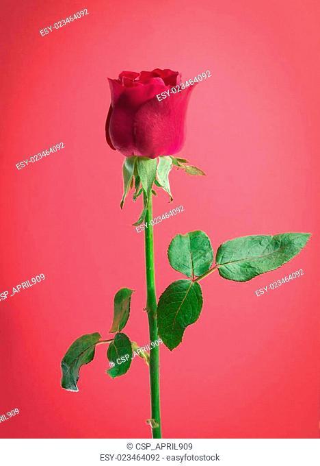 red rose on pink background