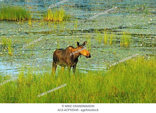 Moose (Alces alces) in wetland Algonquin Provincial Park Ontario Canada