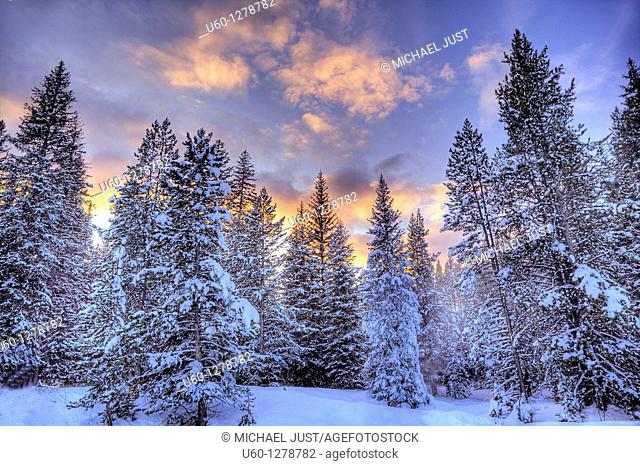 The sun sets behind a stand of snow-covered fir trees in Yellowstone National Park, Wyoming