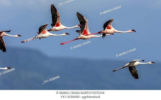 Lesser flamingos in flight over lake Bogoria, Kenya