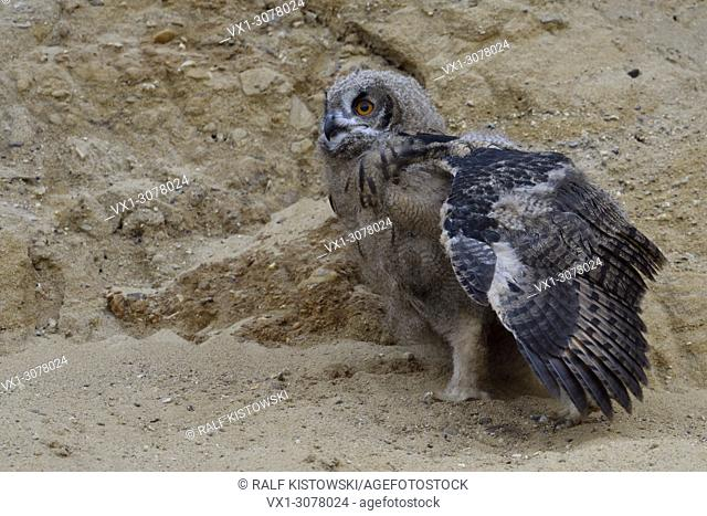 Eurasian Eagle Owl ( Bubo bubo ), young chick in sand pit, moulting, stretching its wing, wildlife, Europe