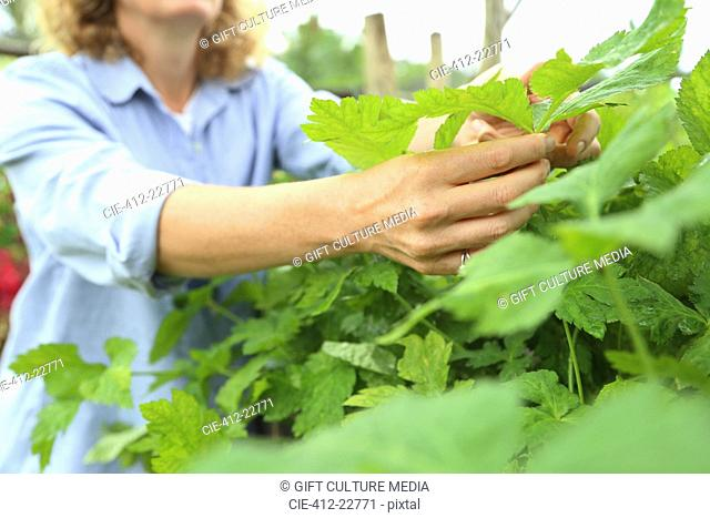 Close-up of hands of woman inspecting plants growing in garden