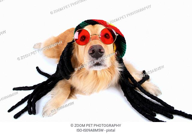 Studio portrait of golden retriever wearing dreadlocks and sunglasses
