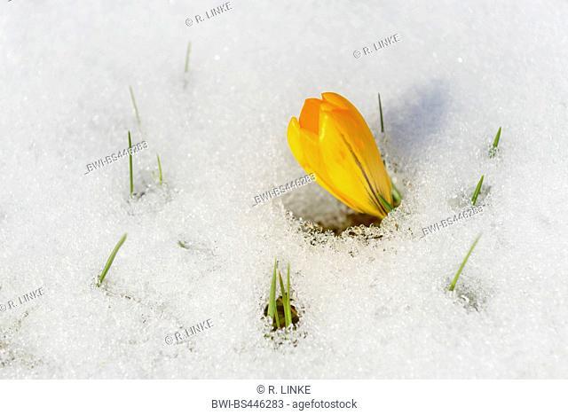 yellow crocus (Crocus chrysanthus), Crocus in snow, Germany