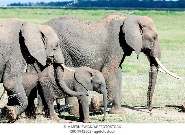 African bush elephant (Loxodonta africana), family group or herd moving in the Amboseli National Park. Africa, East Africa, Kenya, December