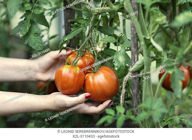 Woman's hands picking red tomatoes (Solanum lycopersicum) in greenhouse. Kaluga Region, Central Russia